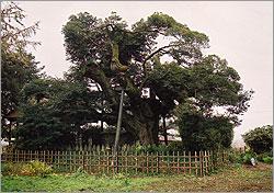 『出島の椎』の画像