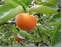 『柿』の画像