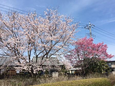 【あじさい館の桜】あじさい館_04