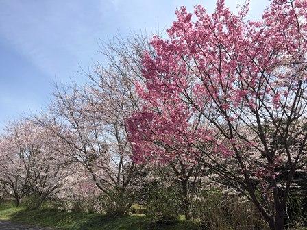 【あじさい館の桜】あじさい館_05