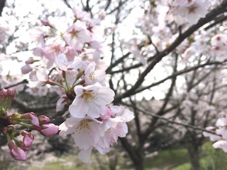 【あじさい館の桜】あじさい館_09