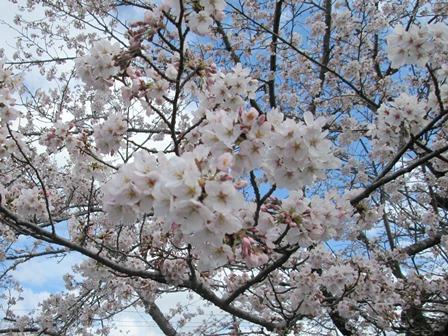 【下大津の桜】霞ヶ浦公民館_03