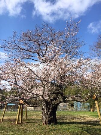 【下大津の桜】霞ヶ浦公民館_05