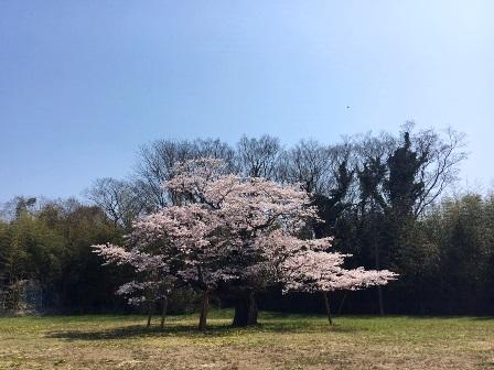 【下大津の桜】霞ヶ浦公民館_07