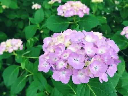 紫陽花が咲き始めました | かすみがうら市公式ホームページ