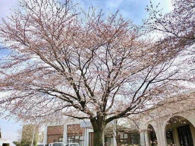 300327あじさい館 桜1