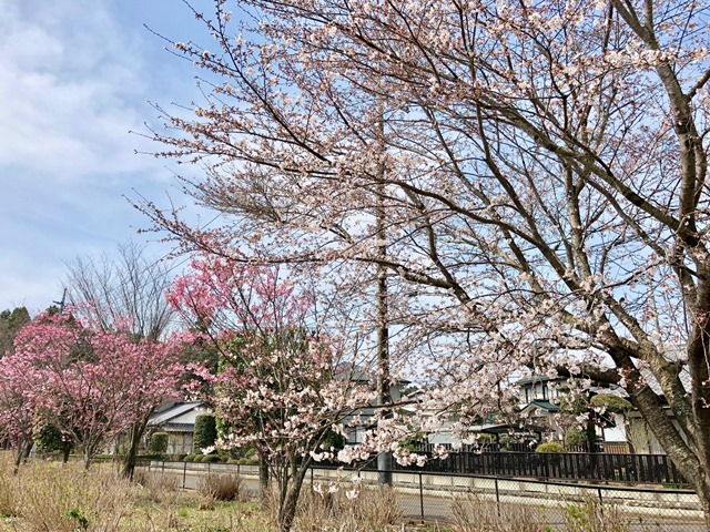 300327あじさい館 桜2