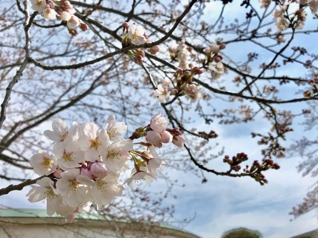300327あじさい館 桜3