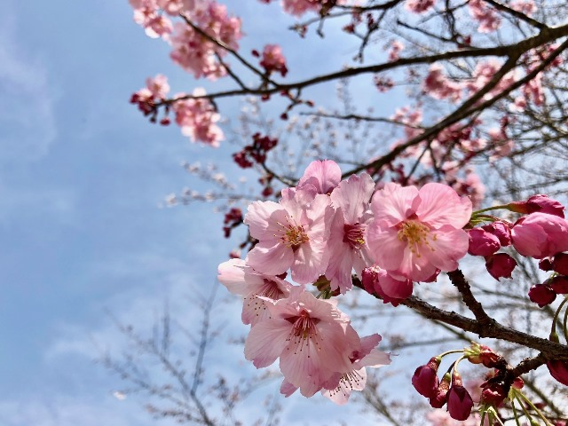300327あじさい館 桜4