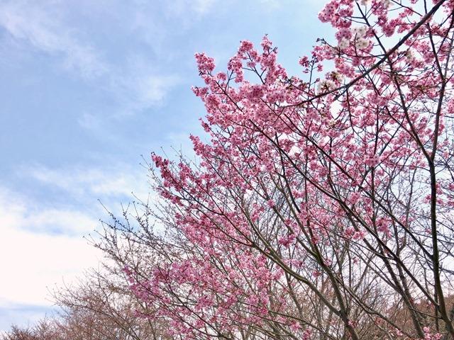 300327あじさい館 桜8