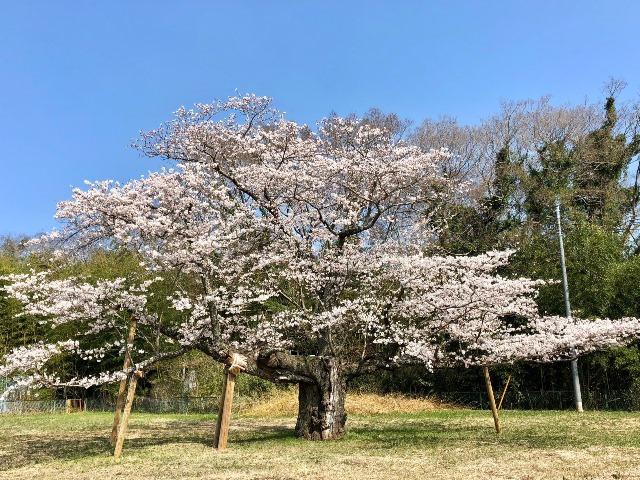 300328下大津・富士見塚 桜2