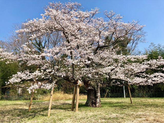 300328下大津・富士見塚 桜3