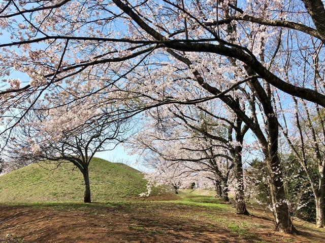 300328下大津・富士見塚 桜5