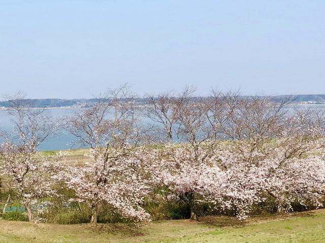 300328下大津・富士見塚 桜7
