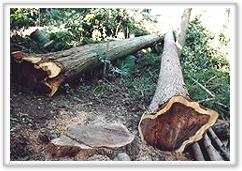 『切り倒された杉 推定樹齢100年』の画像